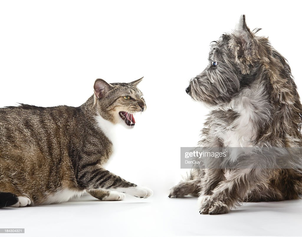 Angry Cat Scares Small Mixed Breed Dog Stock