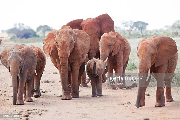 Angry Elephant herd on the dirt road: interception safari car
