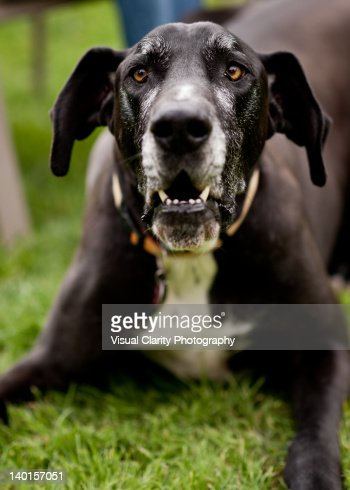 Angry Great Dane Stock Photo | Getty Images