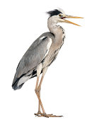 Angry Grey Heron standing, screaming