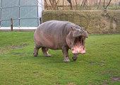 Germany. Hippopotamus