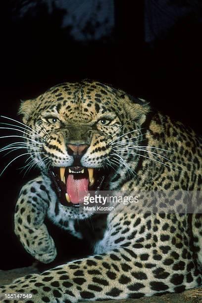 Colère rugissant léopard