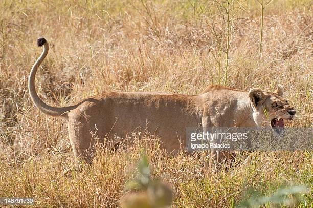 Angry lioness (Panthera leo).