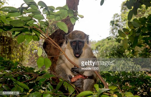 angry looking green monkey : Stock Photo