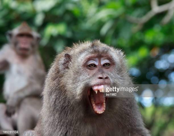 Arrabbiato di scimmia