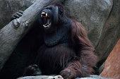 Angry orangutan