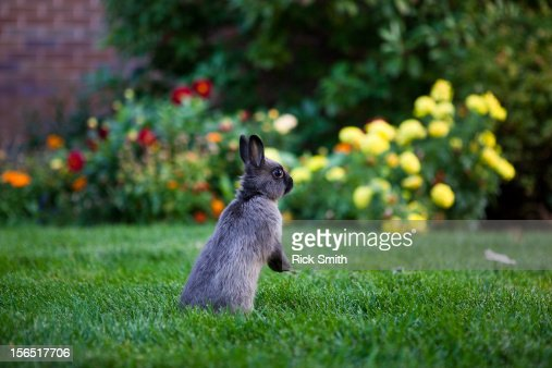 Angry Rabbit Stock Photo | Getty Images