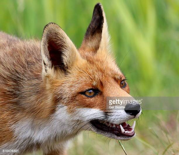 Angry red fox