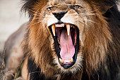 Angry roaring lion, Kruger National Park, South Africa