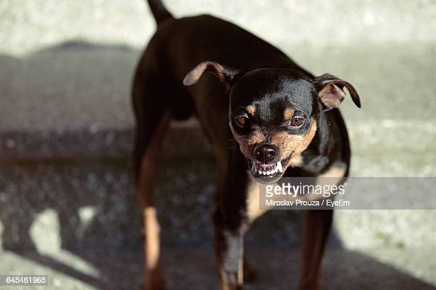 Angry Rottweilers Standing On Street