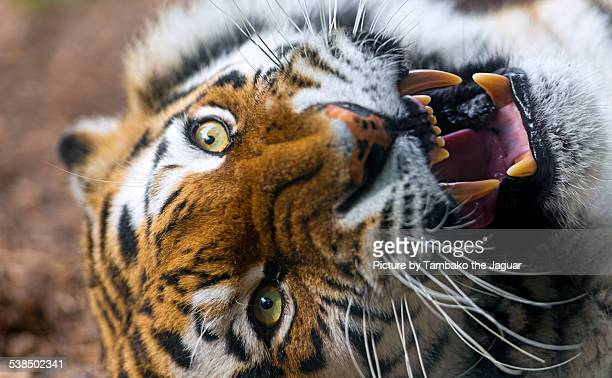 Angry Siberian tigress