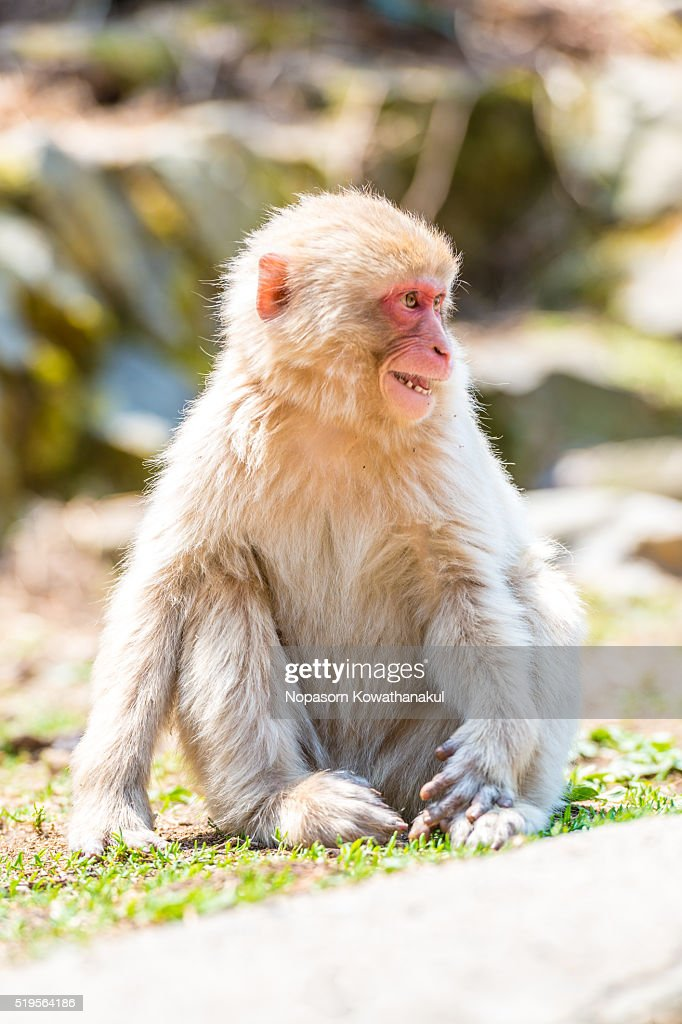 A angry snow monkey offspring
