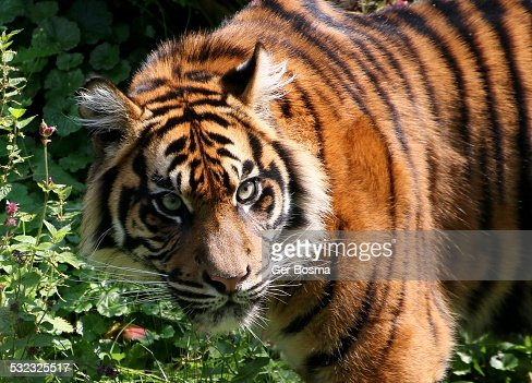 angry sumatran tiger stock photo getty images