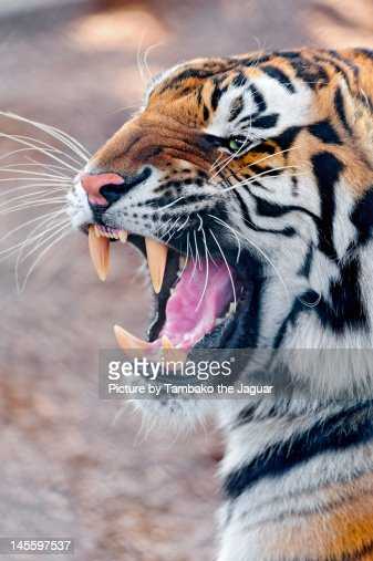 angry tiger stock photo getty images
