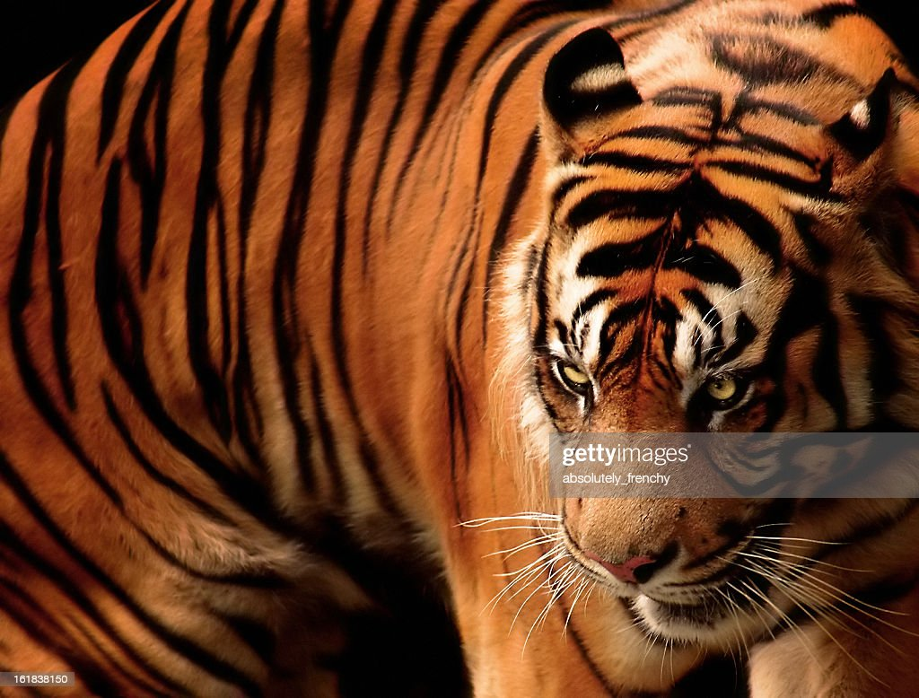 Angry tiger : Stock Photo