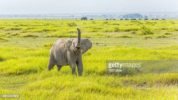 Angry Young African Elephant at Amboseli