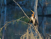 Anhinga drying its wings from its perch in a Florida swamp.