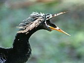Anhinga with mouth open