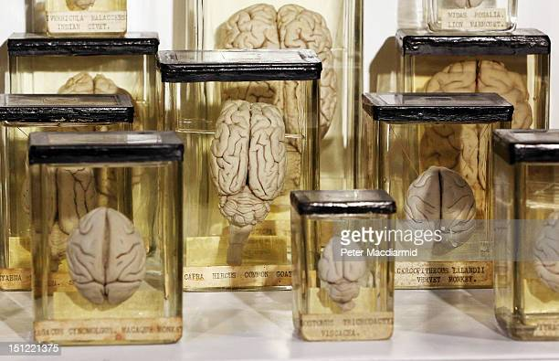 Animal brains are preserved at The Grant Museum of Zoology on September 4 2012 in London England Containing 67000 specimens the Grant Museum of...