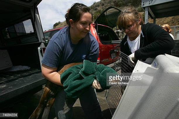 Animal care volunteer Kari Feilmeier puts an arriving malnourished sea lion pup into a kennel to take it into the nursery at a facility caring for...
