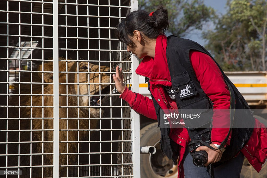 Animal Defenders International worker Yani Mateus stands besides the cage of one of the 33 Lions ahead of it's release into it's new enclosure at the Emoya 'Big Cat Sanctuary' on May 1, 2016 in Vaalwater, South Africa. A total of 33 former circus Lions, 22 males and 11 females from Peru and Columbia were airlifted to South Africa yesterday, before being released today to live out their lives on the private reserve in the Limpopo Province. 24 of the animals were rescued in raids on circuses operating in Peru, with the rest voluntarily surrendered by a circus in Colombia after Colombias Congress passed a bill prohibiting circuses from using wild animals. The trip has been coordinated by the animal rights group 'Animal Defenders International'. The animals have been released into small open areas with natural vegetation, something that many of the animals have never experienced before.