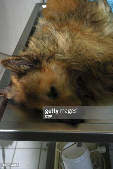 Animal Euthanasia Euthanized 10YearOld Dog Of Belgian Tervueren BreedThis Dog Suffered From A Large Spleen Tumor He Undergone A Laparotomy The...