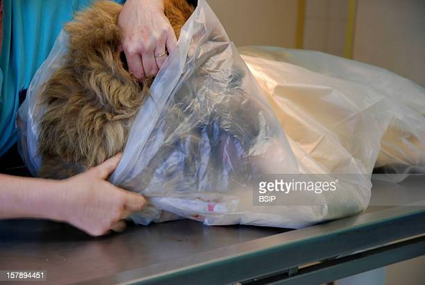 Animal Euthanasia Euthanized 10YearOld Dog Of Belgian Tervueren BreedThe Veterinary Technician Places The Cadaver Of The Dog In An Appropriate Bag...