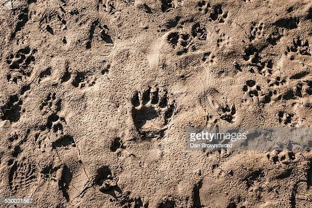 Animal footprints in sand, Vancouver, British Columbia, Canada