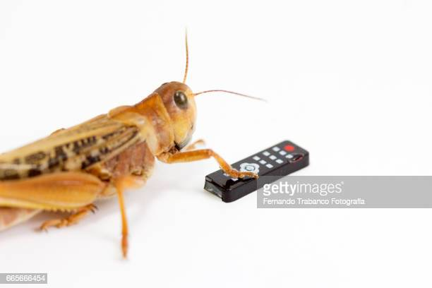 Animal grasshopper insect with tv remote control