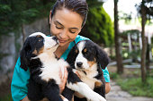 Veterinarian among bernese mountain dog puppies.