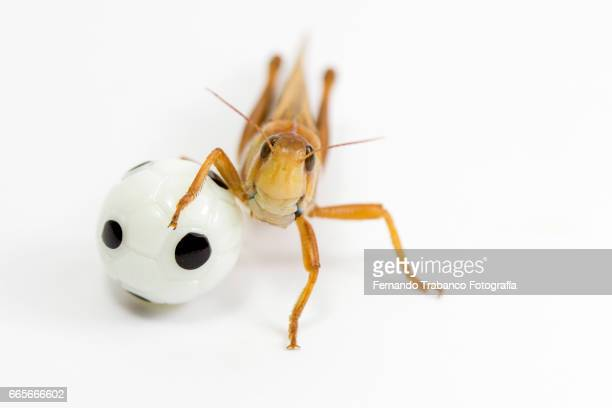 Animal insect grasshopper playing soccer with football ball