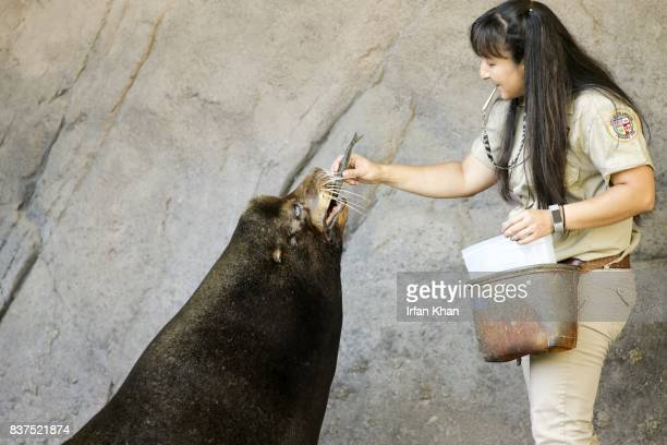 AUGUST 22 2017 Animal keeper Andrea Delegal feeds nearly 700 lbs California sea lion at Los Angeles Zoo's Sea Life Cliffs exhibit Sea lion named '...