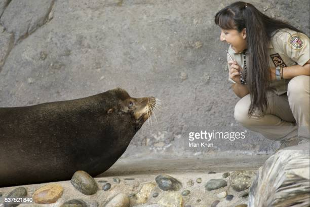 AUGUST 22 2017 Animal keeper Andrea Delegal interacts with nearly 700 lbs California sea lion at Los Angeles Zoo's Sea Life Cliffs exhibit Sea lion...