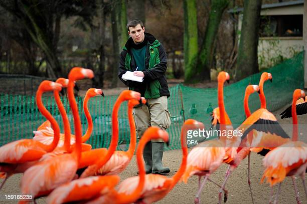Animal keeper apprentice Dominic Weippert counts flamingos during the annual inventory at the zoo in Magdeburg eastern Germany on January 9 2013...