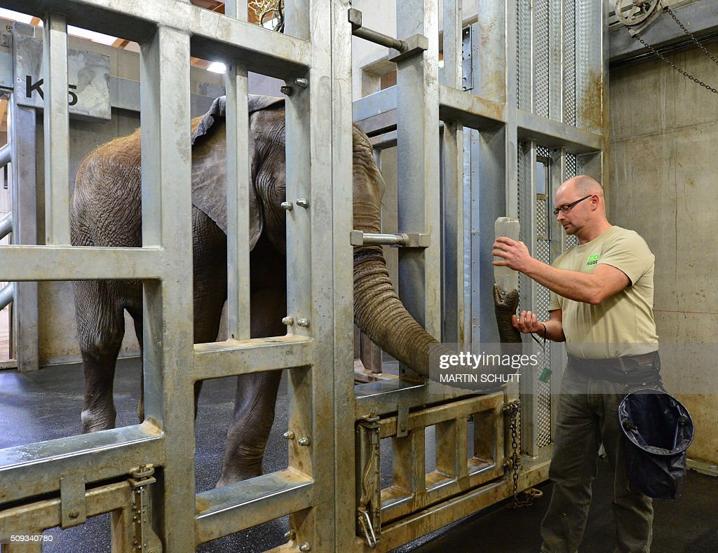 Animal keeper Dirk Hebs pours water into the trunk of elephant Kibo to give him a nasal rinsing during an inventory at the Thueringer Zoopark zoo in Erfurt, eastern Germany, on February 10, 2016. / AFP / dpa / Martin Schutt / Germany OUT