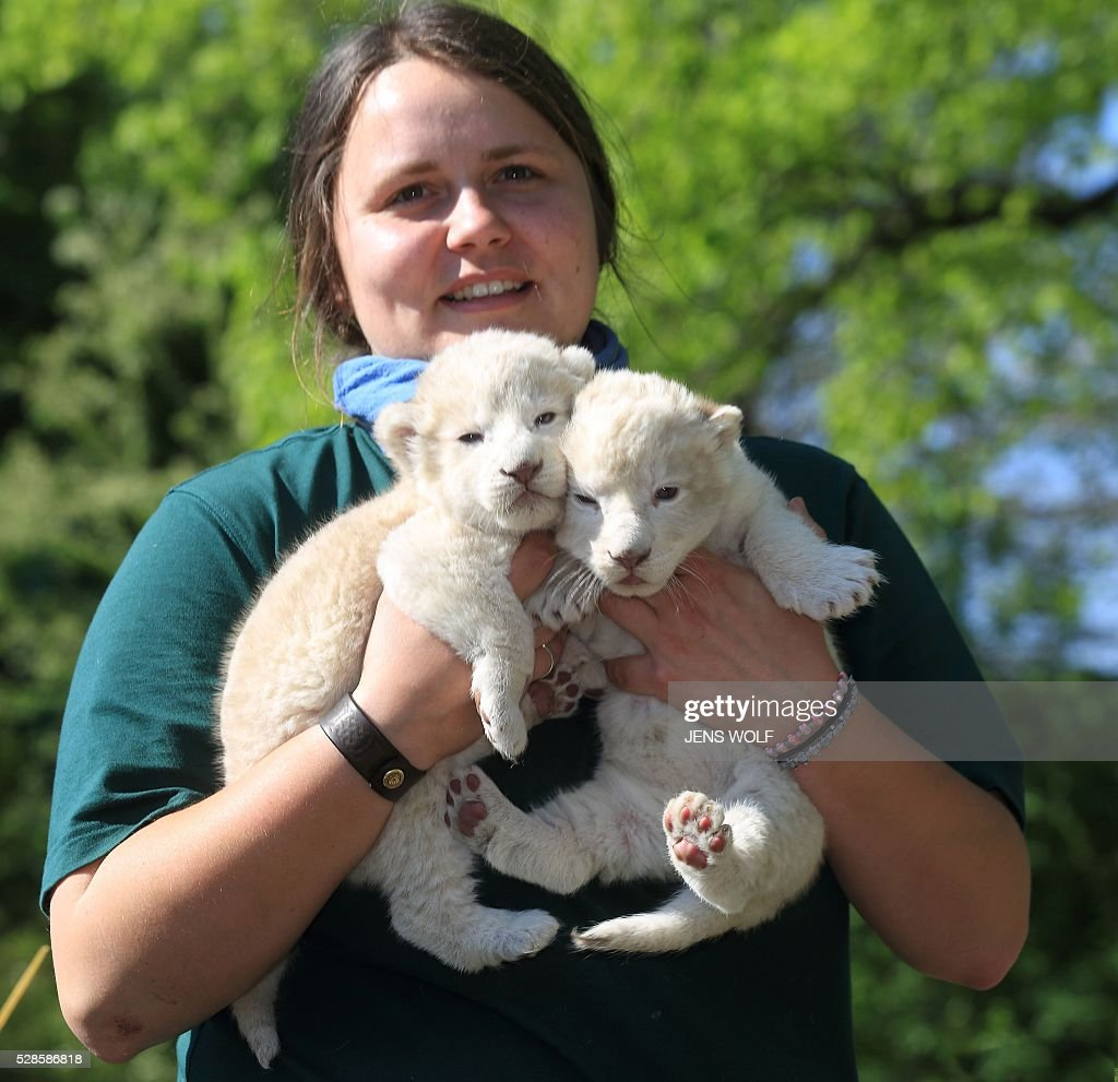 Animal keeper Julia Forst presents two lion cubs to the press on May 6, 2016 at the zoo in Magdeburg, eastern Germany. The cubs were born on April 26, 2016. / AFP / dpa / Jens Wolf / Germany OUT