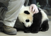 Animal keeper Marty Dearie works with giant panda cub Bao Bao at the Smithsonian National Zoological Park on Tuesday January 07 2014 in Washington DC