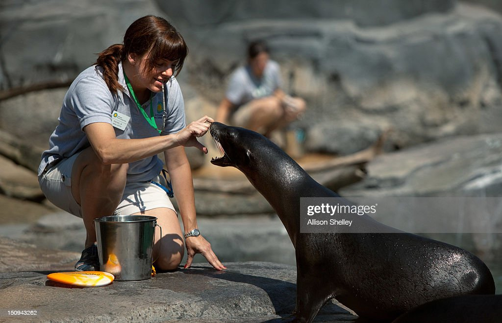 Animal keeper Rachel Metz interacts with a sea lion during a feeding session at a preview of the new American Trail at the Smithsonian National Zoo...