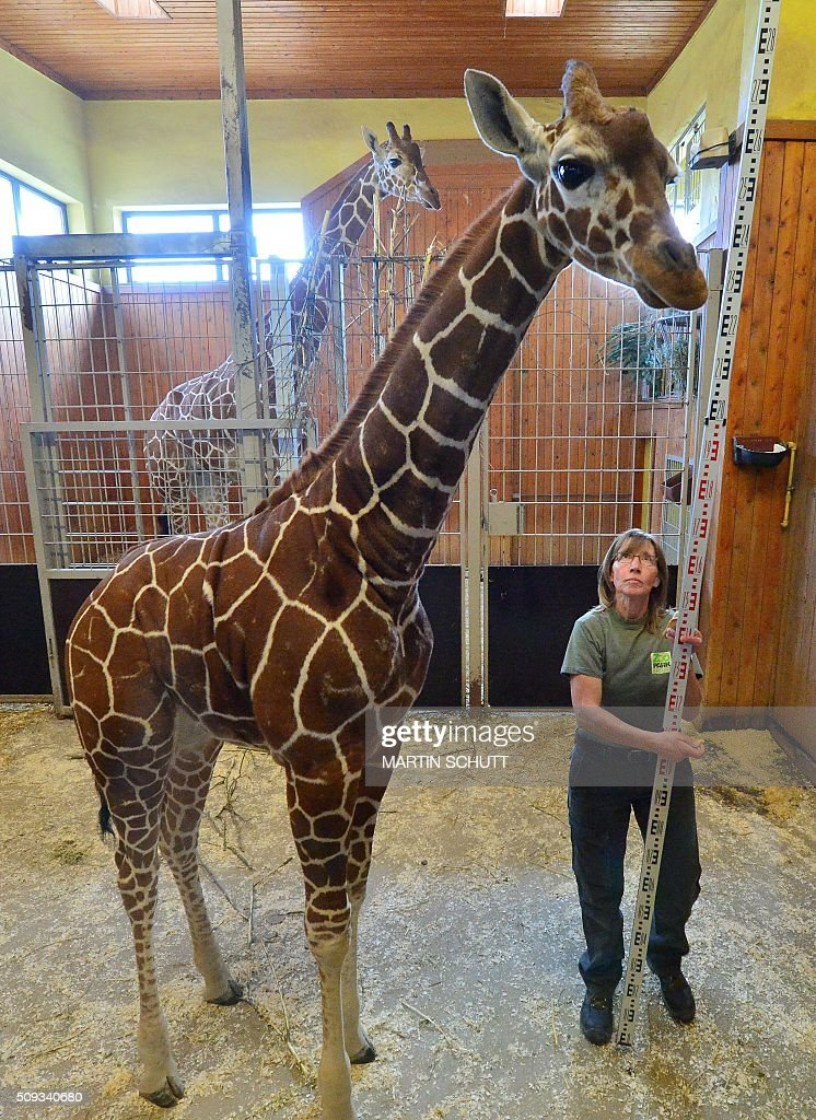 Animal keeper Susanne Meyer measures the height of baby giraffe Mayla during an inventory at the Thueringer Zoopark zoo in Erfurt, eastern Germany, on February 10, 2016. / AFP / dpa / Martin Schutt / Germany OUT