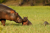 Animal mammal hippo mother baby young born grass wildlife Africa nature savanna water