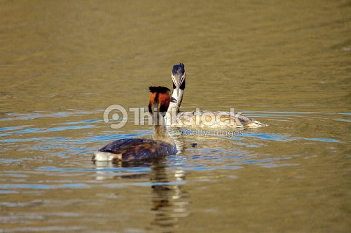 Animal pair of wild birds Podiceps cristatus floating on water