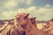 Camel Staring At The Camera