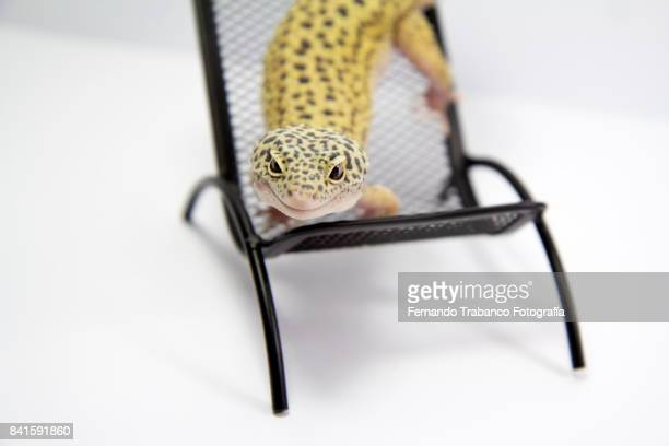Animal rests lying on a chair