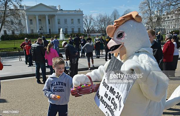 A PETA animal rights activist dressed as a chicken hands out plastic Easter eggs on Pennsylvania Avenue in front of the White House on March 31 2015...