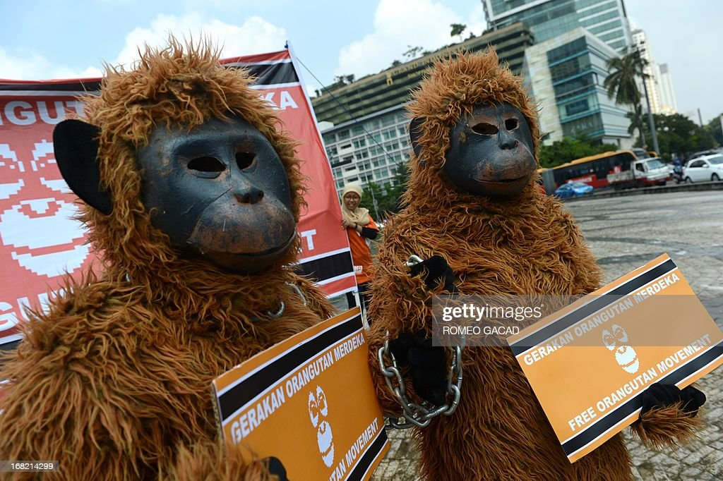 Animal rights activists from Indonesia's Centre for Orangutan Protection dressed in orangutan costumes stage a protest at Jakarta's central roundabout on May 7, 2013. The activists were campaigning to free orangutans that are kept illegally as pets in Aceh province, while pointing out that Sumatran rainforests - the orangutans' habitat - face new threats as the local government lays down a plan that would open up new swathes of forest on Sumatra island to mining, palm oil and paper companies, putting orangutans and other critically endangered species at even greater risk. AFP PHOTO / ROMEO GACAD