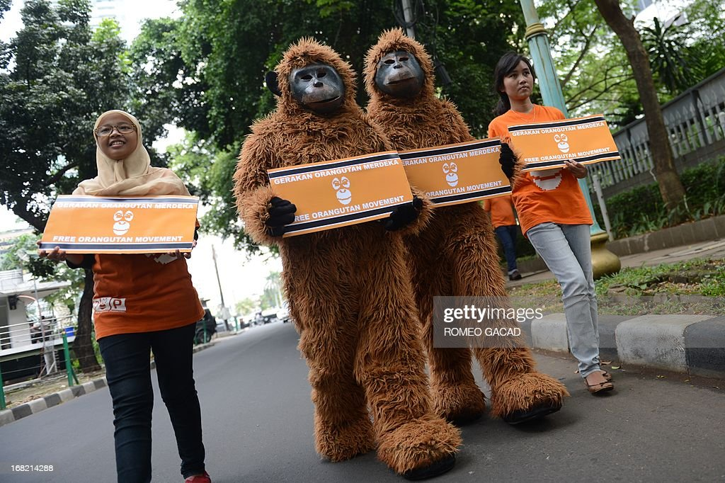 Animal rights activists from Indonesia's Centre for Orangutan Protection, some dressed in orangutan costumes, stage a protest at Jakarta's central roundabout on May 7, 2013. The activists were campaigning to free orangutans that are kept illegally as pets in Aceh province, while pointing out that Sumatran rainforests - the orangutans' habitat - face new threats as the local government lays down a plan that would open up new swathes of forest on Sumatra island to mining, palm oil and paper companies, putting orangutans and other critically endangered species at even greater risk.