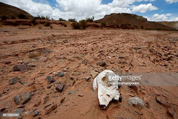 A animal skull in the dry river bed is pictured near the Salinas Grandes during Stage 10 on day 11 of the Dakar Rallly between Calama and Cachi on...