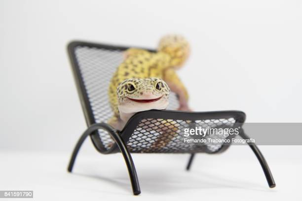 Animal smiling lying on a chair