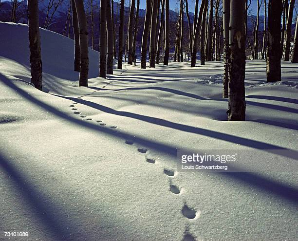 Animal tracks in snow, Colorado, USA