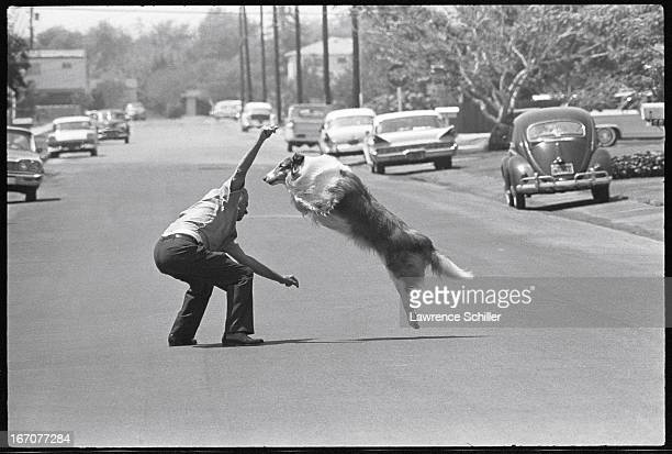 Animal trainer Frank Inn works with collie animal actor Lassie in the middle of a suburban street 1964 The picture was taken as part of a photo shoot...